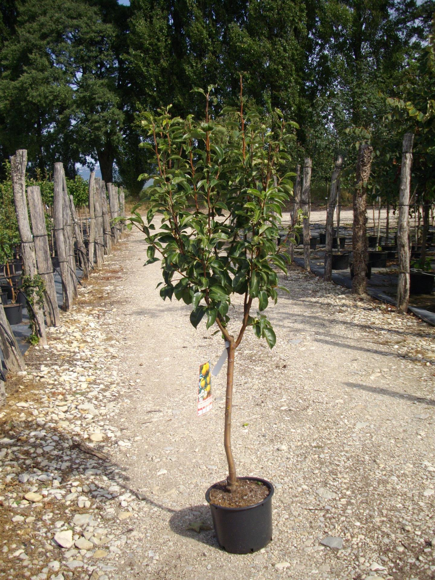 Comment Planter Un Arbre Fruitier quelle forme choisir pour son arbre fruitier ?