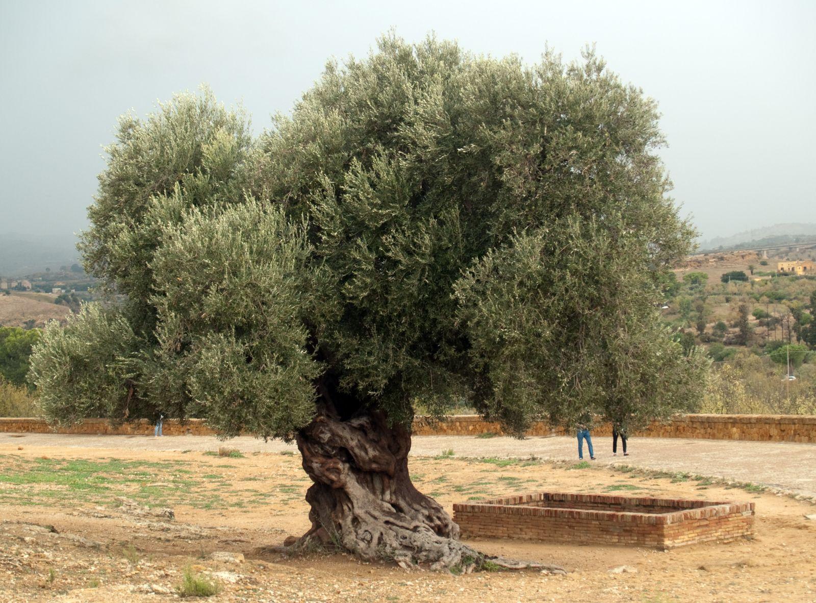 L 39 olivier for Faux olivier arbre